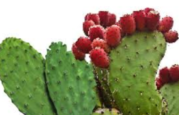 benefits of prickly pear